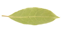Bay leaf isolated on white background Royalty Free Stock Photography