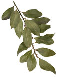 Bay leaf spice Royalty Free Stock Images