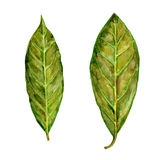 Bay leaf watercolor illustration on the white background Royalty Free Stock Image