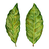 Bay leaf watercolor illustration on the white background Royalty Free Stock Photo