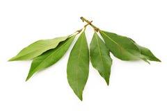 Bay leaf on white Stock Photo