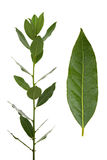 Bay Leaves. Bay leaf and branch isolated on white background Stock Photos