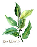 Bay leaves stock illustration