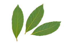 Bay leaves. Three fresh bay leaves isolated on white background Stock Photography