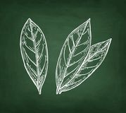 Chalk sketch of bay laurel Stock Image