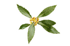 Bay leaves and flowers Stock Photo