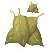 Bay leaves isolated on white background. Detailed Royalty Free Stock Photo