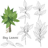 Bay Leaves Set Royalty Free Stock Photography