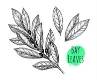 Bay leaves set. Royalty Free Stock Image