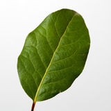 Bay leaves. Spice selective focus with shallow depth of field royalty free stock photo