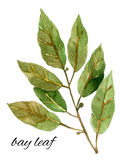 Bay leaves, watercolor illustration Royalty Free Stock Photo