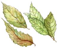 Bay leaves - watercolor painting. Watercolor set of bay leaves on white background vector illustration