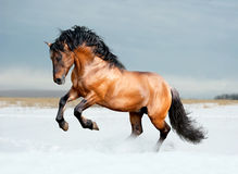Bay lusitano horse in winter field Stock Images