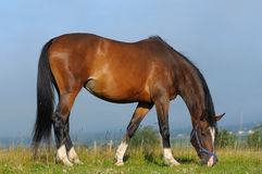 Bay mare. The Hanoverian bay mare in field royalty free stock image