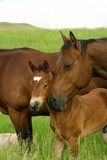 Bay Mare And Foal Stock Photos