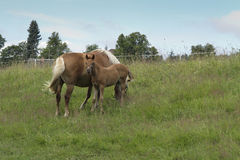 Bay mare with colt Royalty Free Stock Images