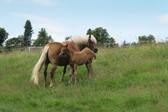 Bay mare with colt. Shot of the mare with colt on horse lot stock image