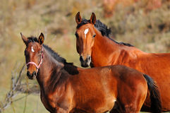 Bay mare and foal Royalty Free Stock Photography