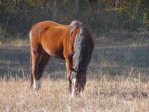 Bay Mare Grazing. A lone bay mare grazes peacefully. Its reddish brown coat and black mane stand out in an otherwise nondescript field of grass Stock Images