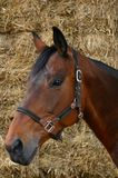 Bay mare with hay Royalty Free Stock Image
