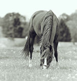 Bay mare in a meadow Royalty Free Stock Images