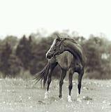 Bay mare in a meadow Stock Photos