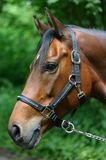 Bay mare portrait Stock Image