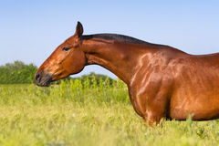 Bay mare portrait Royalty Free Stock Photography