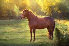 Horse at sunset light royalty free stock images