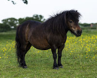 Bay Miniature Shetland Pony Royalty Free Stock Photos