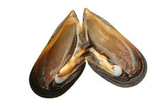 Bay mussel Stock Photo
