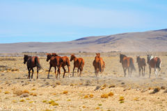 The bay mustangs galloping in the Patagonian plains Royalty Free Stock Image