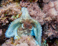 Bay octopus closeup on colorful reef Stock Photo
