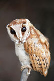 Bay owl with huge dark eyes. Royalty Free Stock Photos