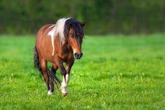 Bay piebald horse Royalty Free Stock Image