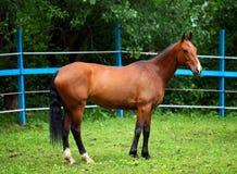 Bay polo pony in summer stud farm Stock Photography