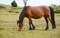 Bay pony in foal grazing in the New Forest Stock Photo