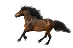 Bay pony  isolated. Bay pony with long mane run isolated on white background Stock Photos