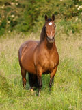 Bay Pony in Paddock Royalty Free Stock Images
