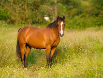 Bay Pony in Paddock Stock Photos