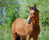 Bay purebred horse. Portrait of bay purebred stallion Stock Photography