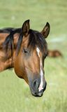 Bay quarter horse stock images