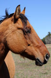 Bay Quarter Horse Stock Photography