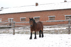 Bay Russian shire horse. A bay Russian shire horse on a snowy day Royalty Free Stock Images