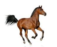 Bay saddle stallion isolated. Young bay purebred stallion isolated on a white royalty free stock photo