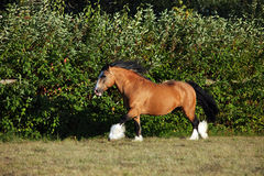 Bay shire horse - galloping on meadow. Shire horse galloping on evening meadow Royalty Free Stock Photo