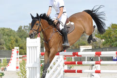 Bay show jumper. Bay horse jumping in the 1m25 at Vilamoura, Portugal Royalty Free Stock Photos