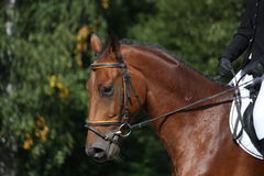 Bay sport horse portrait Royalty Free Stock Images