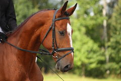 Bay sport horse portrait Royalty Free Stock Photography