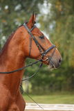 Bay sport horse portrait Stock Images